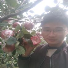 哪里卖苹果树苗,烟富6苹果苗图片