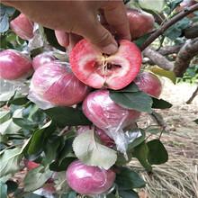 烟富6苹果树苗,寒富苹果苗图片