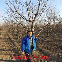 红苹果苗,黑苹果树苗图片