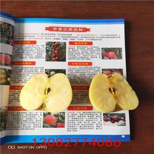 红苹果苗,哪里卖苹果苗图片