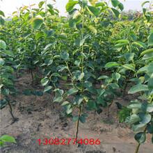 苹果苗新品种,中秋王苹果苗图片