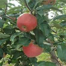 早熟苹果苗,红将军苹果苗图片