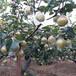 一公分,三年生大樱桃苗多少钱
