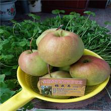 杏树地头价格粗度一公分杏苗图片