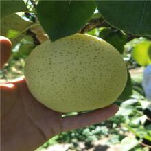 3公分杏树苗哪里有当年杏树苗图片