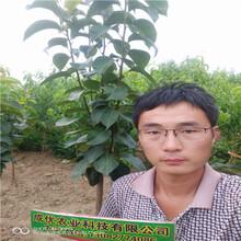 新品種李子樹苗有哪些產地直銷圖片
