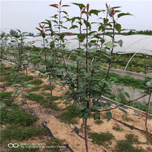 李子树苗哪个品种好什么价格图片