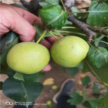 李子苗新品种李子苗报价3公分李子苗图片