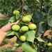 矮化,良種櫻桃苗價格