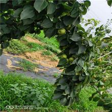 李子樹苗什么季節栽種詳細價格圖片