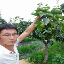 2公分杏树苗基地价格杏树苗嫁接苗图片