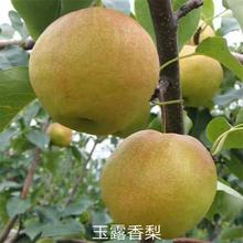 1公分杏苗厂家供应粗度一公分杏苗图片