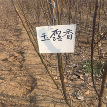 李子树苗什么季节栽种多钱图片