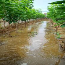 李子苗新品种脆红李子苗报价2公分西梅李子苗图片