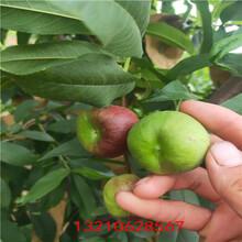 金霞早油盘桃苗桃树苗新品种价格图片