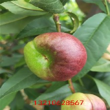 桃树苗多少钱桃树苗价格行情图片