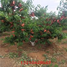 桃樹苗出售櫻桃樹苗批發圖片
