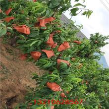 油盘7号桃树苗桃树苗供应图片