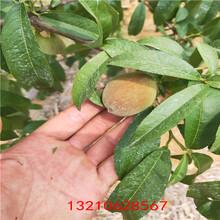 油蟠桃樹苗大櫻桃樹苗價格圖片