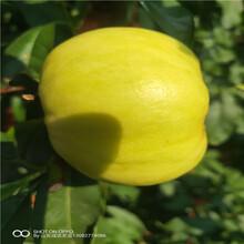 油蟠桃介绍桃树苗批发多少钱一颗图片