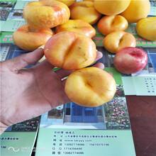 油盘桃那个品种凤凰联盟登录凤凰联盟登录油桃树苗批发图片