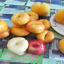油蟠桃那個好吃黃桃樹苗價格圖片