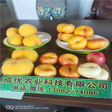 黃金蜜1號桃樹苗桃樹苗新品種價格圖片
