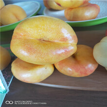 哪里賣油盤桃樹苗軟棗獼猴桃樹苗價格圖片