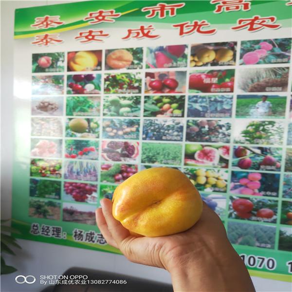 油盘桃那个品种好,薄皮核桃树苗价格