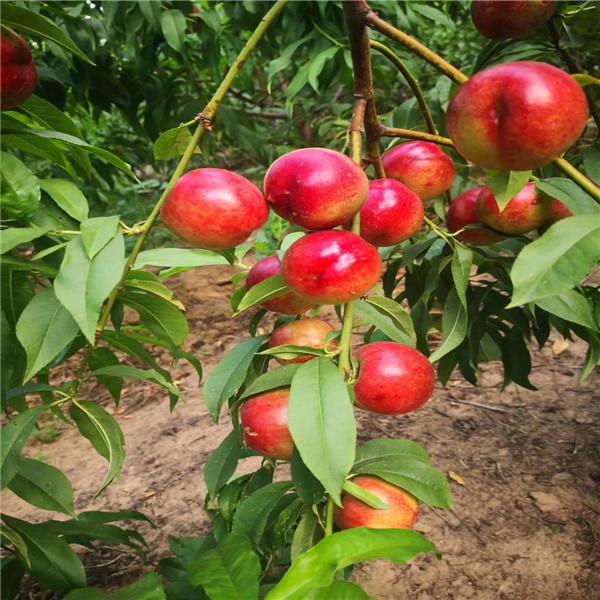 油盘桃好吃吗,桃树苗哪种好