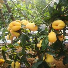哪里賣油盤桃樹苗油桃桃樹苗新品種圖片