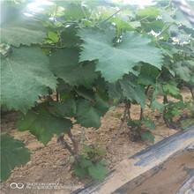供應紅芭拉葡萄樹苗圖片