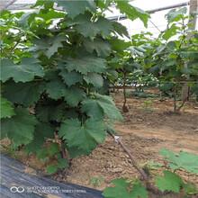 扦插葡萄苗黑色甜菜葡萄樹圖片