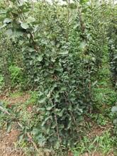 甜红籽山楂苗山楂树苗多少钱了一颗图片