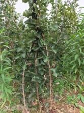 大金星山楂苗山楂树苗哪个季节种植图片