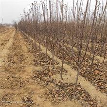 苹果树苗苹果树苗新品种图片