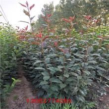 苹果树苗富士苹果树苗几年结果图片