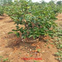 维纳斯黄金苹果苗苹果树苗新品种盆裁图片