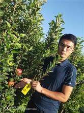 维纳斯黄金苹果苗苹果树苗品种秋冠28图片