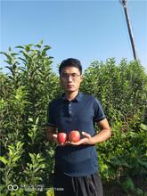 维纳斯苹果苗山西苹果树苗批发图片