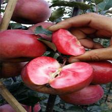烟富8号苹果苗红心苹果树苗几年结果图片