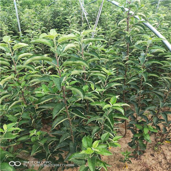新品種蘋果哪里有 矮砧蘋果樹苗多少錢