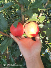 嫁接苹果苗苹果苗供应图片