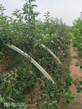 李子樹苗哪個品種好批發報價圖片