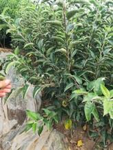 李子樹苗什么季節栽種批發報價圖片