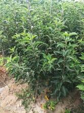 李子树苗品种介绍什么价格图片