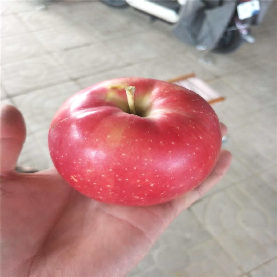 山东苹果苗  鲁丽苹果介绍 苹果树