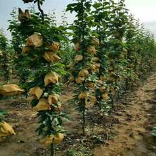 梨树苗批发基地早酥红梨树苗图片