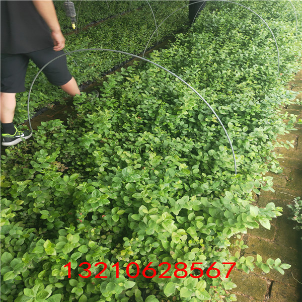 藍莓苗真假 藍莓苗報價