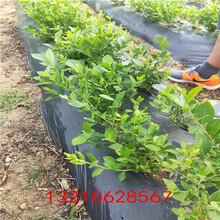 黑河藍莓苗一棵藍莓苗結果嗎